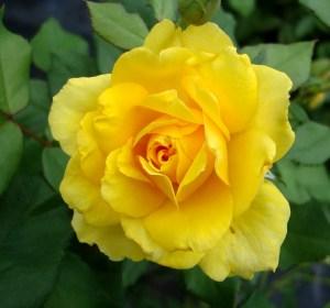 Henry Fonda Rose