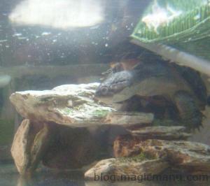Blog de magicmanu : Aménagement de notre maison, Bassin de jardin - Les premiers poissons