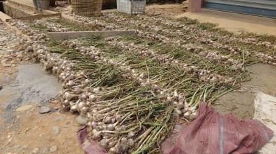 Nong Khiaw - Freshly Picked Garlic