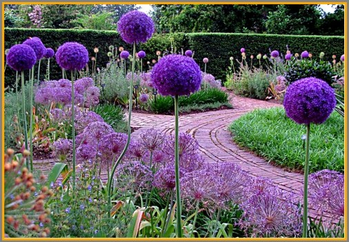 These giant purple allium look like something you'd find straight out of a Dr. Seuss book!