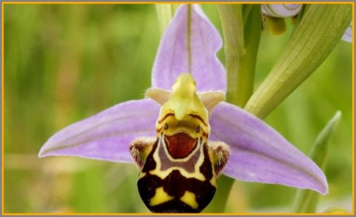 Here's a laughing bumblebee orchid.