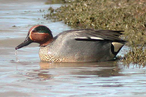 Teal, male