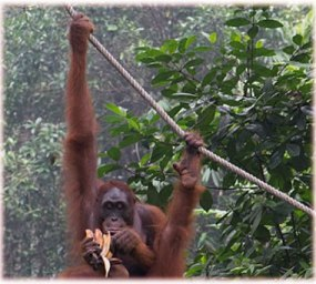 Orangutan of Borneo Island