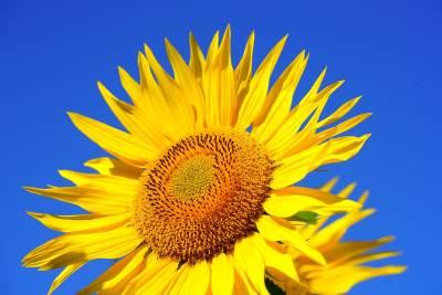Le Tournesol pour activer le bonheur, l'abondance et la joie