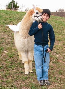 L'alpaca è un animale totalmente domestico usato per lavoro e fibra