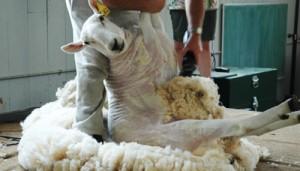 Tosatura con tecnica australiana, la pecora appare intatta e rilassata