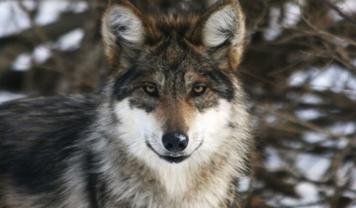 Mexican-Gray-Wolf-NYWCC