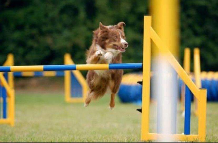 Agility Dog in Action