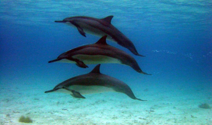 Realm Essences Dolphin Whale Camelot
