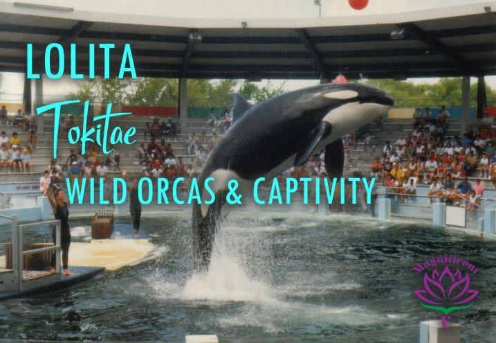 Lolita Tokitae Captive Orca