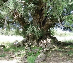 Sardegna Ancient Olive Tree