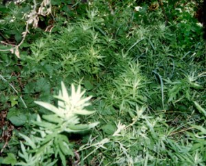 Mugwort, Artemisia Vulgaris Herbs in the Artemisia family are regarded as sacred in North America (desert sage, among others, has purifying powers), China (where it is used in moxibustion smudging by acupuncturists) and Europe, where it also was used as a smudge to remove negative influences and was said to protect those who wore it.