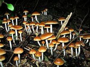 Psilocybin mushroom http://en.wikipedia.org/wiki/Psilocybin_mushroom