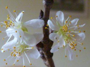 Virga sapientiae floruit, facies Matris apparuit.