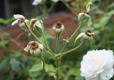 Lammas-Imbolc rose