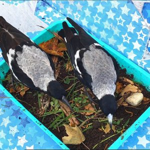Feeding Magpies - Diet, Feeding Guidelines and Warnings