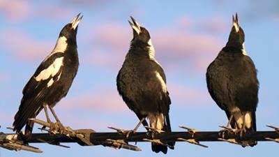 Australian Magpie Mp3's - Ringtones - The Magpie Whisperer