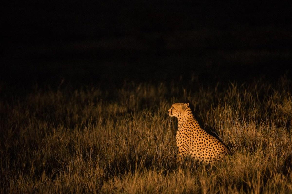 Cheetah Hunt, Lewa Conservancy