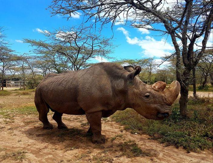 Sudan, Northern White Rhino, Ol Pejeta Conservancy
