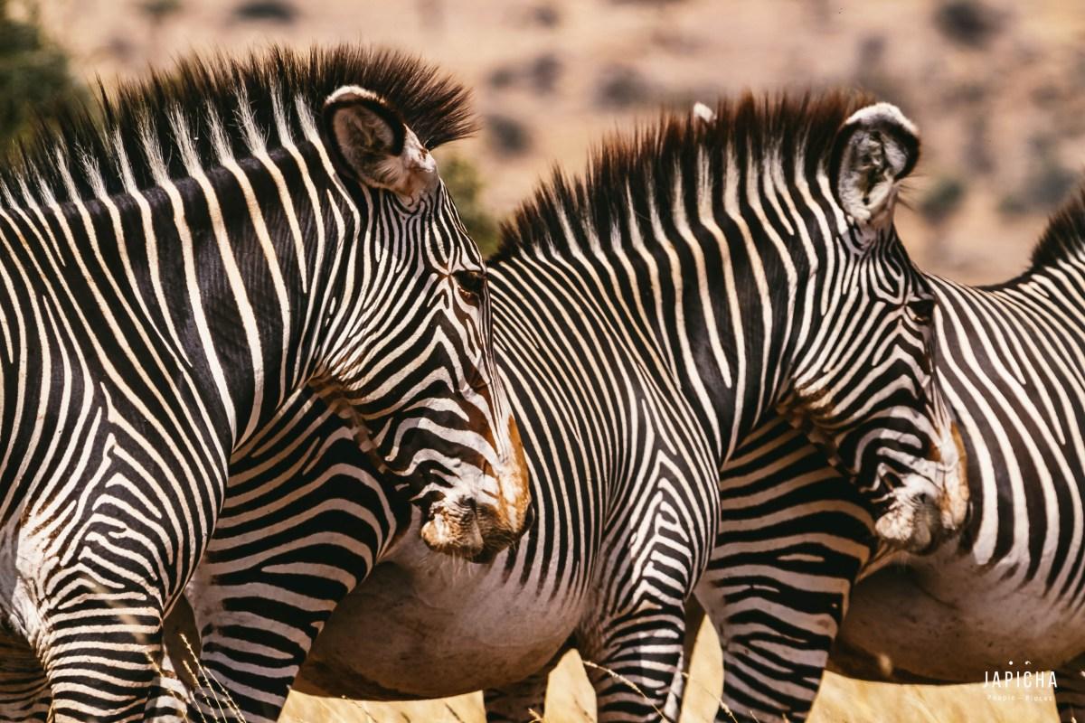 The Grevy Zebra