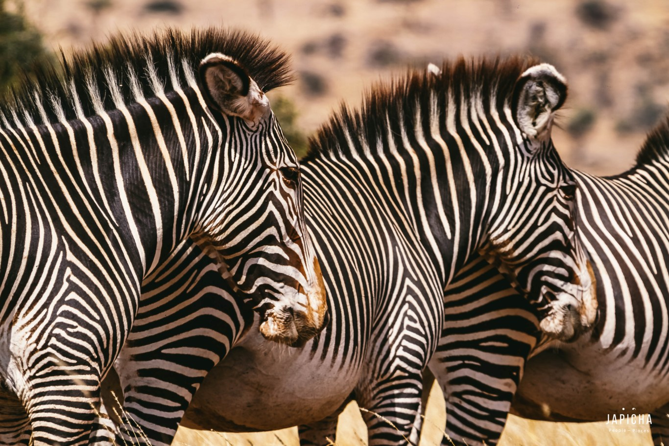 The Grevy Zebra