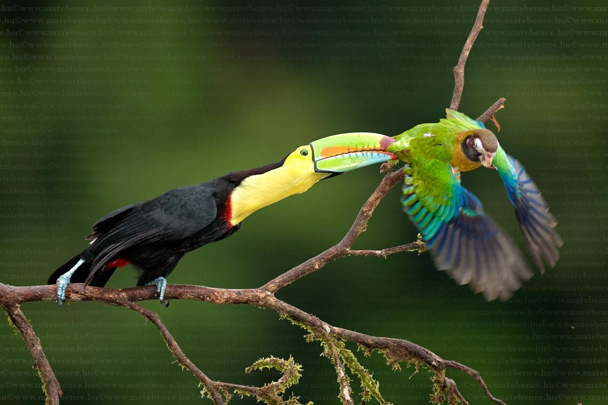 https://i2.wp.com/www.magyarvagyok.hu/media/c_img2/1/4/mate-bence-hidephotography-com-ramphastos-sulfuratus-pyrilia-haematotis-keel-billed-toucan-brown-hooded-parrot-elescsoru-tukan-vorosfulu-papagaj1-66411-7396.jpg
