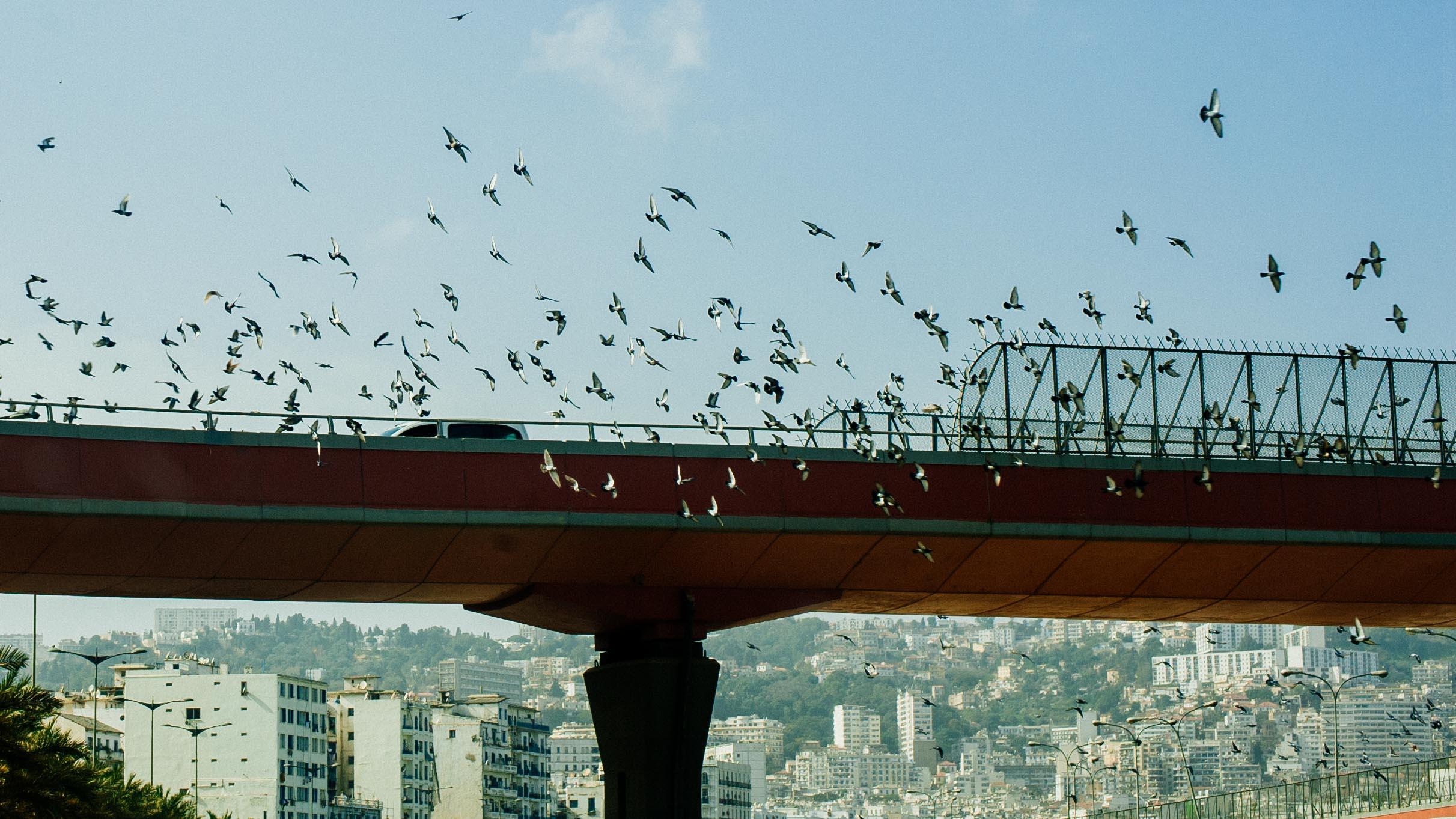 Oiseaux volant au dessus d'un point – Alger - Birds flying over a bridge – Algiers