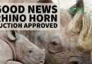 Good News – Rhino Horn Auction Approved