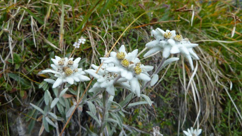 A few Edelweiss