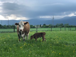 A calf and mother