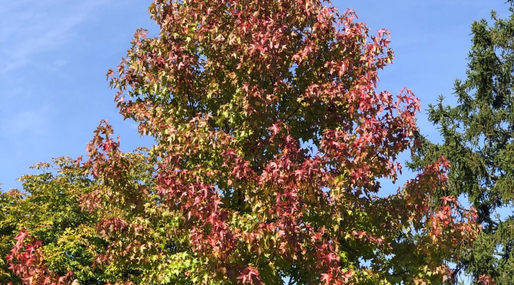 Autumn colours - a tree that is turning