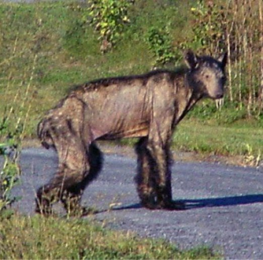 Image result for A Deceased Werewolf Bear with mange