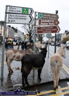 All trussed up and no where to go: A trio of donkeys waiting for a bidder at Castleisland's annual November 1st Horse Fair on Saturday. ©Photograph: John Reidy