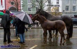 There was no shortage of fine looking animals in Castleisland for Friday's annual November 1st Horse Fair Day. ©Photograph: John Reidy