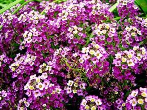 Alyssum Flower, low growing