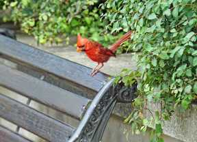 Backyard bird habitat in north Dallas area with seating area, green shrubbery, stone retaining wall and red bird.