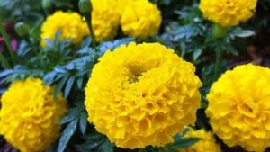 Marigold Flower, popular annual blooms spring, summer, fall