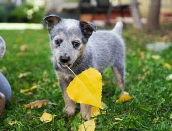 Pet Safe Organic Lawn Services in Prosper featuring image of puppy in organic backyard Bermuda lawn with landscape tree leaves.