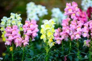 Snapdragon Flower, perennial, annual