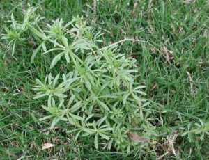 lawn weeds Bedstraw frisco prosper