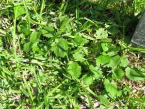 lawn weeds Bristly Mallow frisco prosper