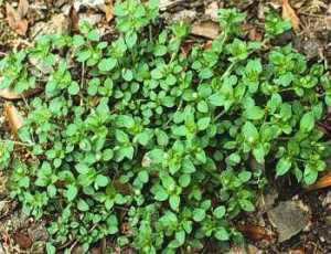 lawn weeds Common Chickweed frisco prosper