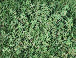 lawn weeds Spotted Spurge frisco prosper