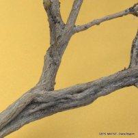 Atroplex lampa -Zampa DR_1525