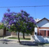 Jacarandá1