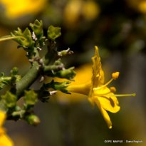 Menodora_robusta (24)