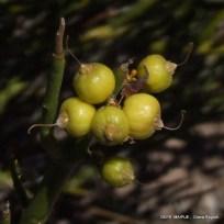Monttea aphylla_Matasebo (31)