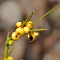 Monttea aphylla_Matasebo (48)