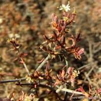 frankenia fischeri (2)