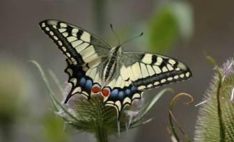 papillon-39